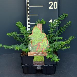 Struikkamperfoelie (lonicera nitida Maigrun) bodembedekker - 6-pack - 1 stuks