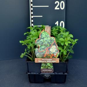 Schaduwkruid (pachysandra terminalis Green Sheen) bodembedekker - 6-pack - 1 stuks