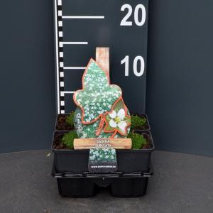 Vetmuur (sagina subulata) bodembedekker - 4-pack - 1 stuks