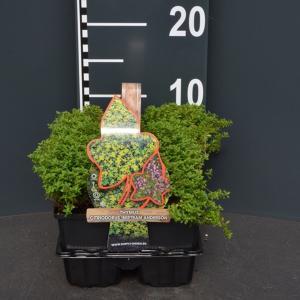 Citroentijm (thymus citriodorus Bertram Anderson) bodembedekker - 4-pack - 1 stuks