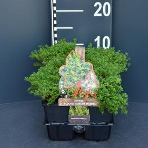 Citroentijm (thymus citriodorus Bertram Anderson) bodembedekker - 6-pack - 1 stuks