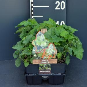 Schuimbloem (tiarella cordifolia) bodembedekker - 6-pack - 1 stuks