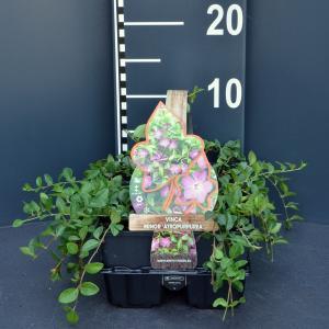 Kleine maagdenpalm (vinca minor Atropurpurea) bodembedekker - 6-pack - 1 stuks