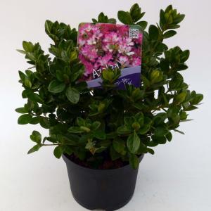 Rododendron (Rhododendron Japonica Izum-No-Mai) heester - 15-20 cm - 8 stuks