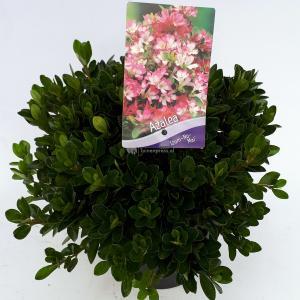 Rododendron (Rhododendron Japonica Izum-No-Mai) heester - 30-35 cm - 1 stuks
