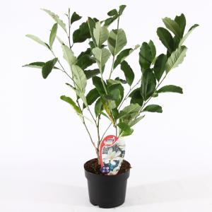 Magnolia struik Stellata - 100 - 125 cm - 5 stuks