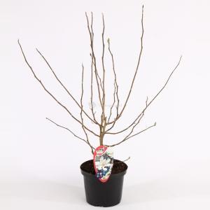 Magnolia struik Stellata - 50 - 60 cm - 8 stuks