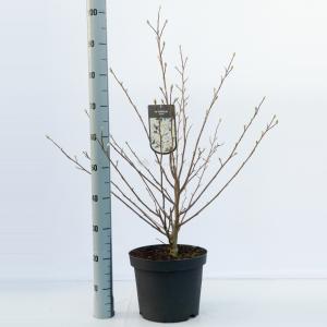 Magnolia struik Stellata - 80 - 100 cm - 5 stuks