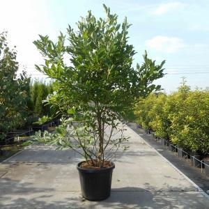 Magnolia struik Stellata - 150 - 175 cm - 3 stuks
