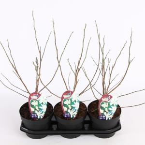 Magnolia struik Stellata Royal Star - 40 - 50 cm - 3 stuks
