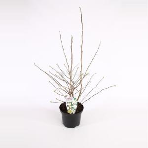Magnolia struik Stellata Royal Star - 50 - 60 cm - 8 stuks