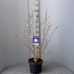 Magnolia struik Stellata Royal Star - 80 - 100 cm - 5 stuks