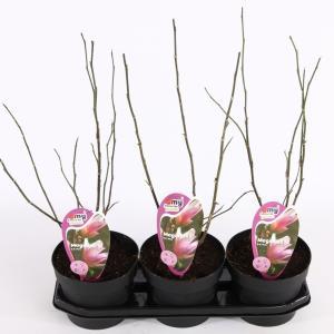 Magnolia struik George Henry Kern - 40 - 50 cm - 3 stuks
