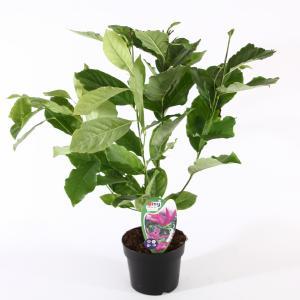 Magnolia struik Susan - 40 - 50 cm - 3 stuks