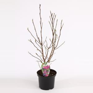 Magnolia struik Susan - 50 - 60 cm - 8 stuks