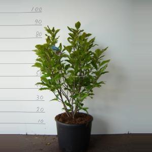 Magnolia struik Susan - 50 - 70 cm - 5 stuks