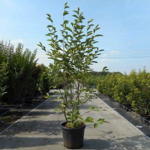 Magnolia struik Soulangeana - 175 - 200 cm - 3 stuks