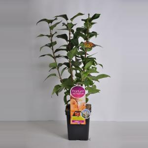 Sering (syringa vulgaris Beauty of MoscowParfum de Nature)
