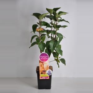 Sering (syringa vulgaris NadezhdaParfum de Nature)