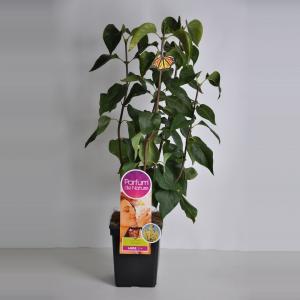 Sering (syringa vulgaris PrimroseParfum de Nature)