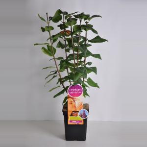 Sering (syringa vulgaris Ruhm von HorstensteinParfum de Nature)
