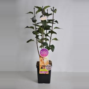 Sering (syringa vulgaris SensationParfum de Nature)