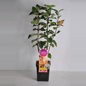 Sering (syringa vulgaris Souv. d'Alice HardingParfum de Nature)