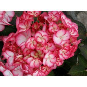 Hydrangea Macrophylla Hovaria Mirai boerenhortensia