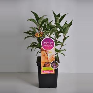 Sering (syringa villosae RoyaltyParfum de Nature)