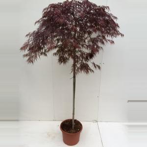 Japanse esdoorn op stam (Acer palmatum Garnet) heester - Op stam 120 cm - 1 stuks