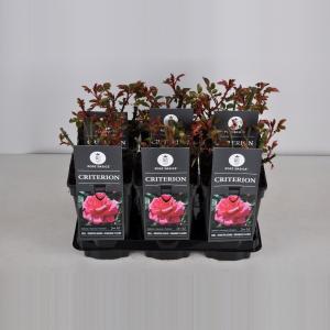 Grootbloemige roos (rosa Criterion)