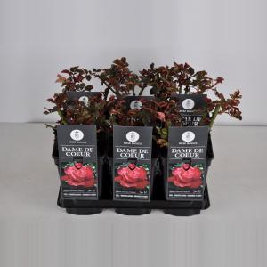 Grootbloemige roos (rosa Dame de Coeur)