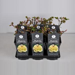 Grootbloemige roos (rosa Peace (Gloria Dei))