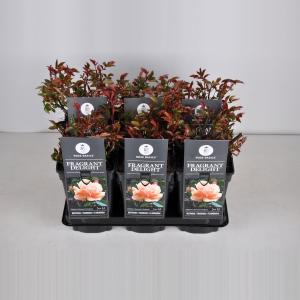 Trosroos (rosa Fragrant Delight)