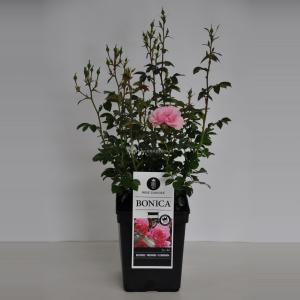 Trosroos (rosa Bonica®) - C5 - 1 stuks
