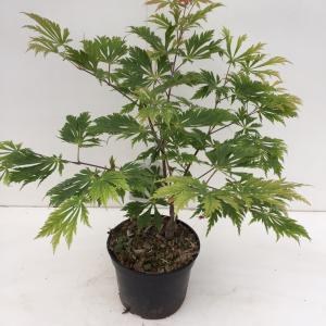 Japanse esdoorn (Acer Japonicum Aconitifolium) heester - 30-40 cm - 1 stuks