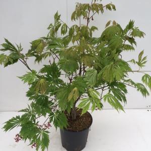 Japanse esdoorn (Acer Japonicum Aconitifolium) heester - 60+ cm - 1 stuks