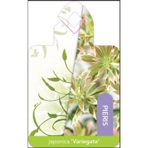 "Rotsheide (Pieris Japonica ""Variegata"") heester - 15-20 cm (P15) - 18 stuks"