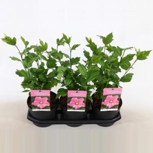 Hibiscus syriacus Pink Giant - 3 stuks