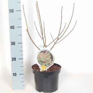 Vederesdoorn (Acer Negundo Flamingo) - 40-50 cm - 9 stuks
