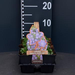 Klokjesbloem (campanula carpatica Blue Clips) bodembedekker - 6-pack - 1 stuks
