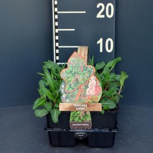Duizendknoop (persicaria affinis) bodembedekker - 6-pack - 1 stuks