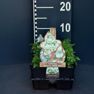 Klokjesbloem (campanula carpatica White Clips) bodembedekker - 6-pack - 1 stuks