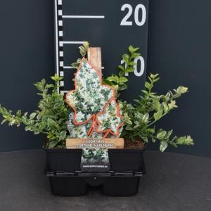 Kardinaalsmuts (euonymus fortunei Harlequin) bodembedekker - 4-pack - 1 stuks