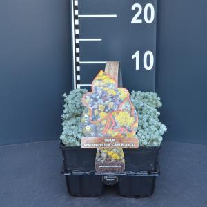 Vetkruid (sedum spathulifolium Cape Blanco) bodembedekker - 6-pack - 1 stuks
