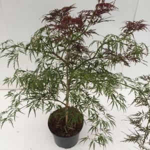 Japanse esdoorn (Acer palmatum Ornatum) heester - 40-50 cm - 1 stuks