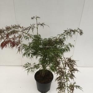 Japanse esdoorn (Acer palmatum Ornatum) heester - 50-60 cm - 1 stuks