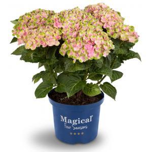 Hydrangea Macrophylla Magical Amethyst Roze® boerenhortensia - 25-30 cm - 1 stuks