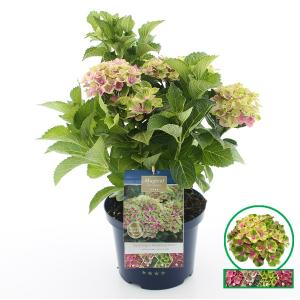 Hydrangea Macrophylla Magical Amethyst Roze® boerenhortensia - 30-40 cm - 1 stuks