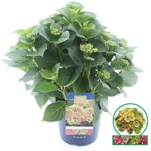 Hydrangea Macrophylla Magical Amethyst Roze® boerenhortensia - 40-50 cm - 1 stuks